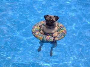 Pooch Plunge - Dog Day at the Pool